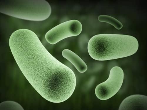fogyást segítő baktérium)