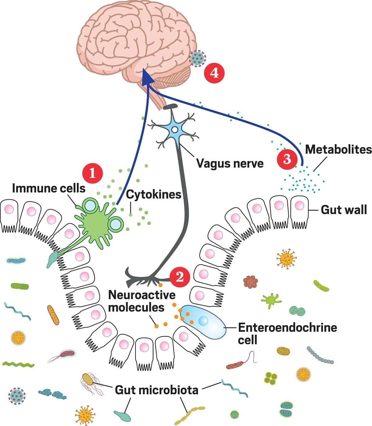 súlycsökkenés és a bél mikrobiota összetétele